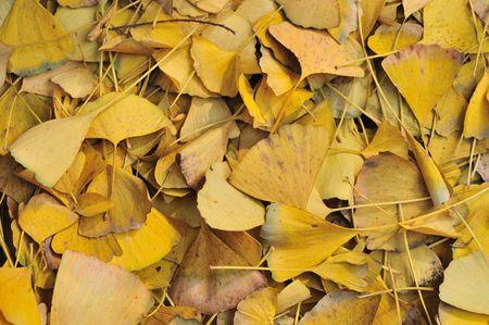 Ginko Leaves photo