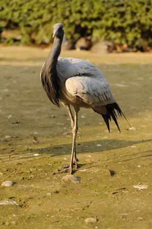 Crane bird Stock Photo - 8999415