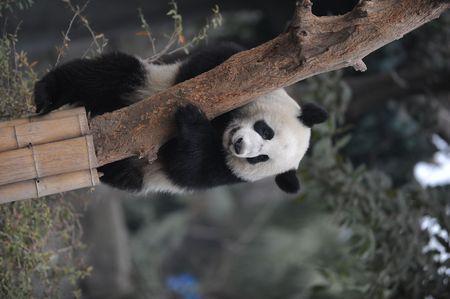 panda climbing tree photo