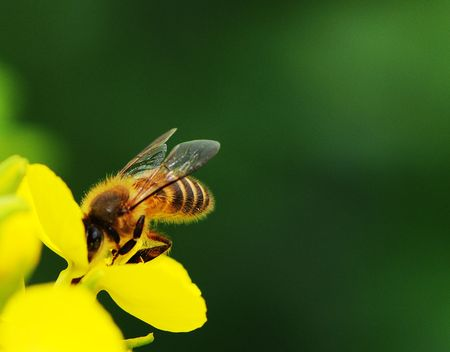 rape flower and bee in sunshine