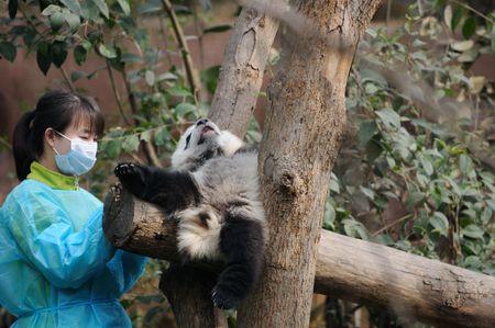 woman feeding panda Stock Photo