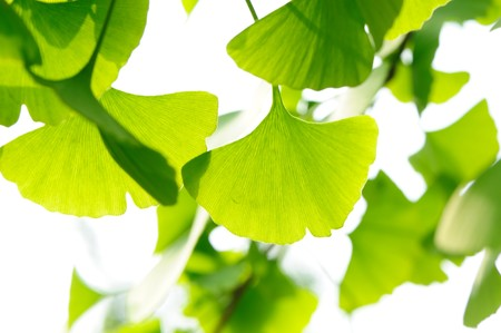 Fresh Leaves Ginkgo photo