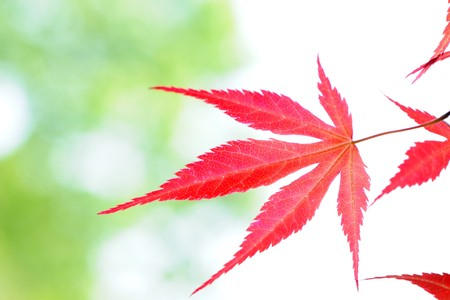 Red leaves Stock Photo - 7020056