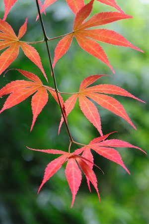 Red leaves Stock Photo - 7020085
