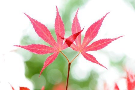 Red leaves Stock Photo - 7020089