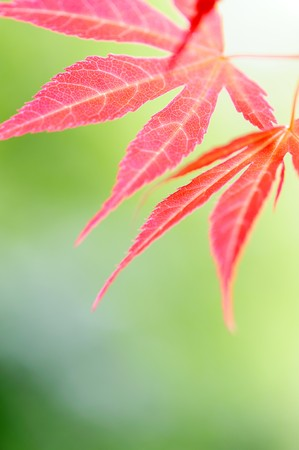 Red leaves Stock Photo - 7020096
