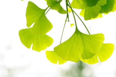 ginkgo leaf: Fresh Leaves Ginkgo Stock Photo