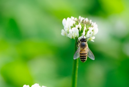 bee white flower on green grass background Stock Photo