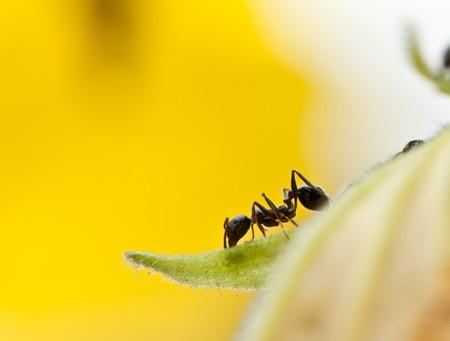 hormiga hoja: hormiga en flor