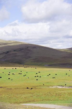 nomadism: yak on mountain Stock Photo