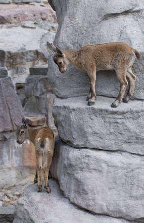 ibex ram: Capra ibex kids