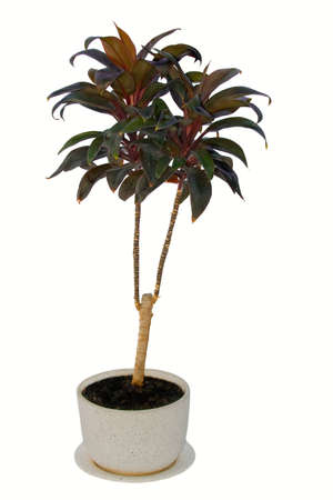 A small palm in a pot, isolated white Stock Photo