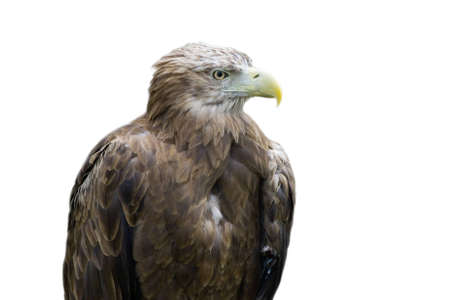 Detailed photo of an eagle sitting in rocks, isolated white