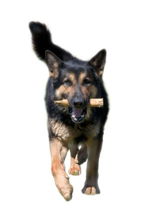 German shepherd running with stick, isolated white Stock Photo