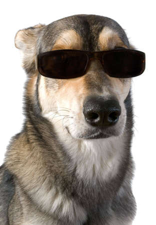Serious dog wears sunglasses, isolated white