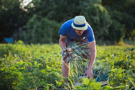 若い農夫帽子有機 eco ファームのフィールドでタマネギを収穫します。タマネギの束を手で保持している男。