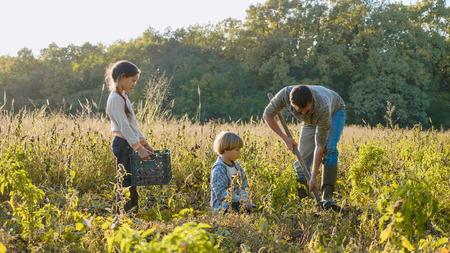 Farmer with children harvesting organic sweet potato on the field of eco farm. 写真素材