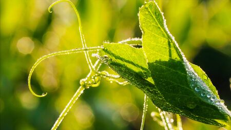 Closeup view of pea plant leaf with drops of dew in sunny morning.