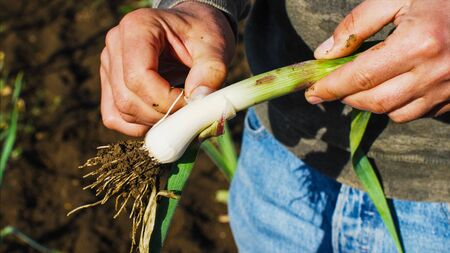 Farmer is cleaning young garlic plant just picked it from field.