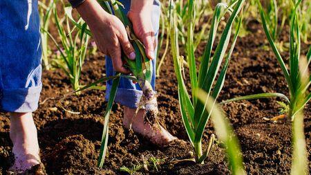 Farmer tears garlic plant on the field for food, walking barefoot dirty legs.