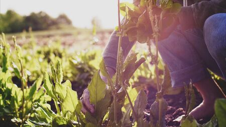 Farmer man tears sorrel from the beds and collects the leaves in a bunch. Imagens