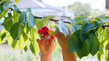 Childs hands pluck cherries from a branch.