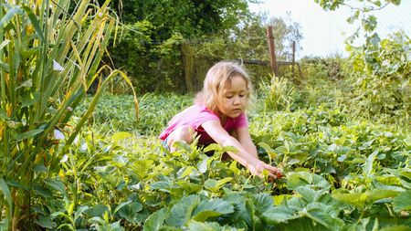 Little cute girl is eating strawberry sitting near the plant bed in the garden.