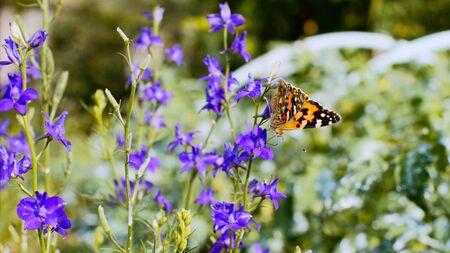 Butterfly on purple field flowers in wild nature.