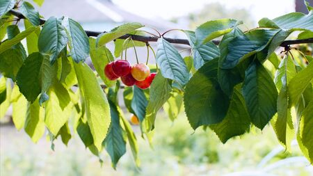 Red cherries are growing on a branch. Imagens