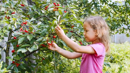 Little girl is eating cherry picking up berries from the tree.