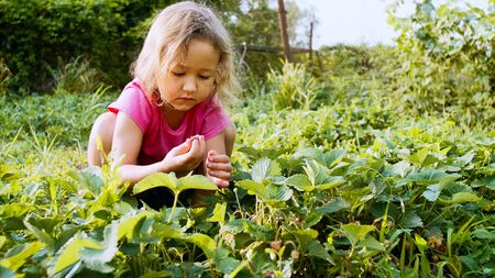 Little girl is picking strawberry while sitting near the plant bed in the garden Stockfoto