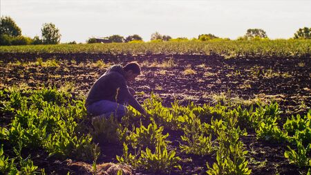 Farmer man tears sorrel from the beds and collects the leaves in a bunch. Stockfoto