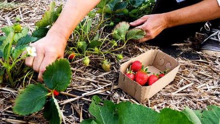 Female farmer is gathering fresh ripe strawberry at the field