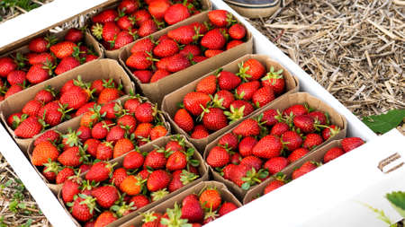 Pasteboard with strawberry on the farm field is ready to delivery.