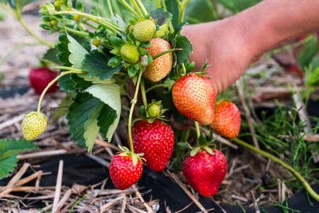 Close-up hands gathering fresh ripe strawberry 免版税图像