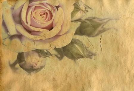 pergamino: rosa rosa sobre fondo de papel vintage  Foto de archivo