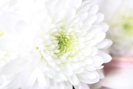 White Chrysanthemum flower macro shot Stock Photo