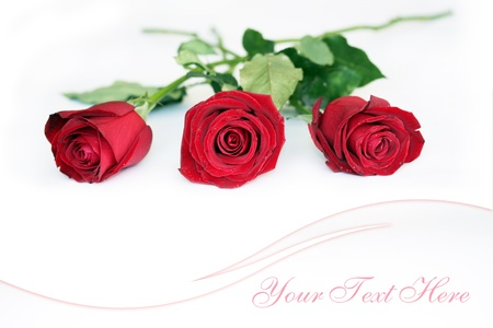 red roses on white background postcard design Stock Photo