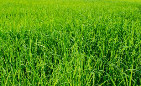 The rice-growing array of challenges stand sunlight Stock Photo - 16185213