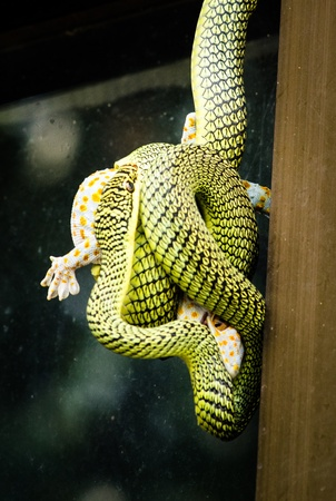 limbless: Gecko trying to survive the constriction of the snake