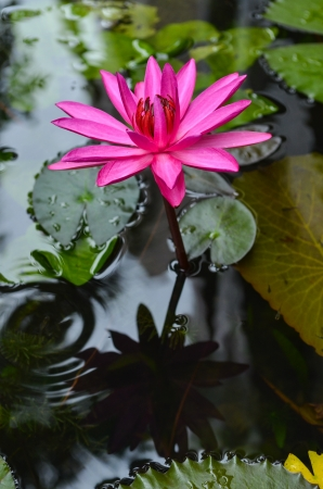 The lotus blossom in the morning.