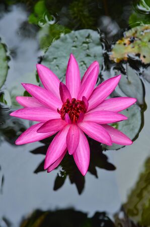The lotus blossom in the morning. photo