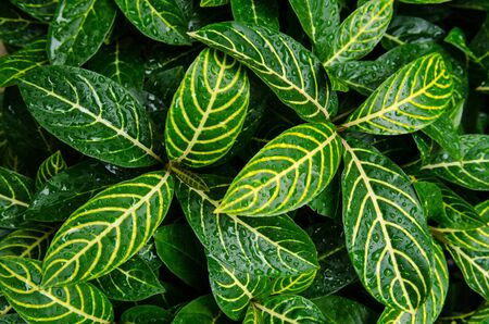 Yellow lines on the leaves, making the leaves look attractive. Stock Photo - 16617398