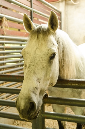 The most beautiful white horse to look at