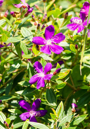 Purple flowers that bloom in the afternoon sun.