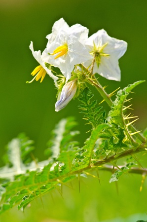 thorn flower in the morning Stock Photo