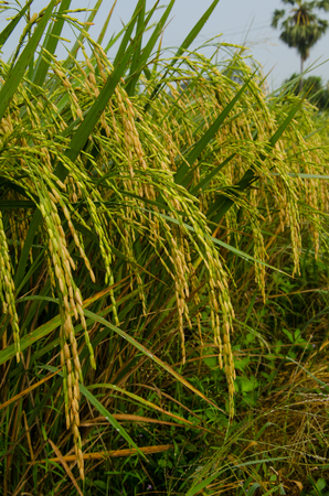 Jasmine rice is the harvest time.