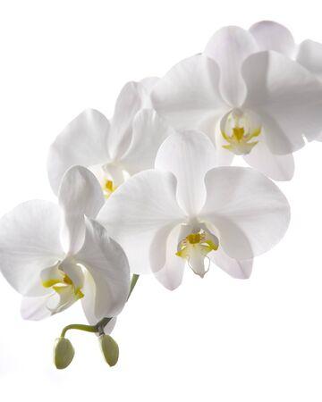 Nahaufnahme Gruppe frische weiße Orchidee isoliert auf weißem Hintergrund