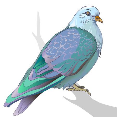 white duck: Pigeon realistic bird vector illustration