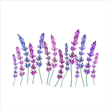 lavanda: Diseño de la lavanda vector decorativo illustation Vectores